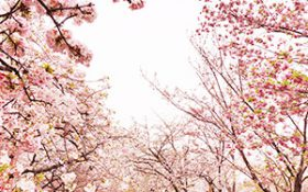 Cherry blossom forecast calendar