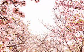 Forecast calendar of the Cherry blossom's flowering season