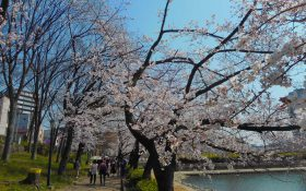 The cherry blossom season is finally over! !